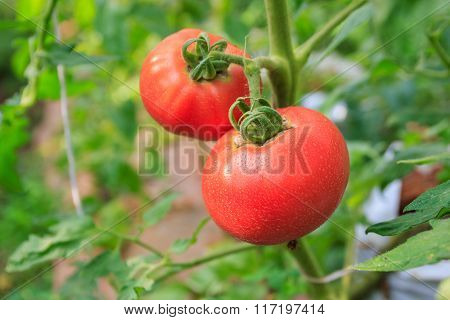 Homegrown Red Fresh Tomato In A Garden With Water Drop.