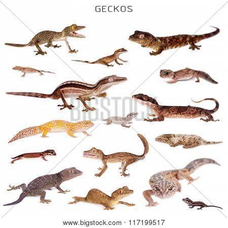 Geckos set on white