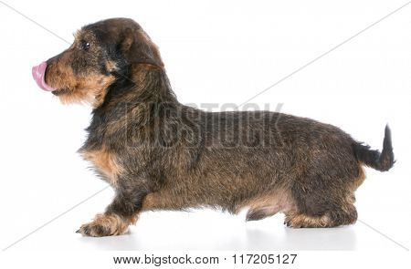 miniature wirehaired dachshund licking lips on white background