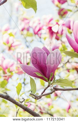 Blossoming Of Pink Magnolia Flowers In Spring Time
