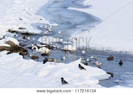 Swans And Ducks In Langelinie Pond In Winter Copenhagen