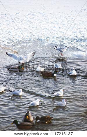 Swans And Ducks In The Langelinie Pond In Winter Copenhagen
