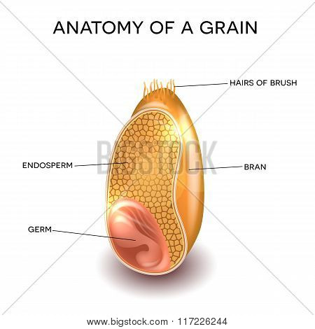 Grain Anatomy
