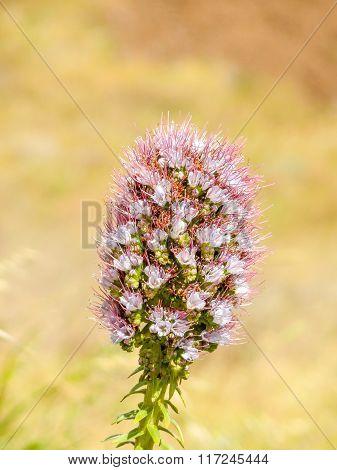Foxtail Plant