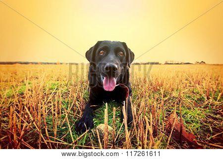 Happy Black Labrador.