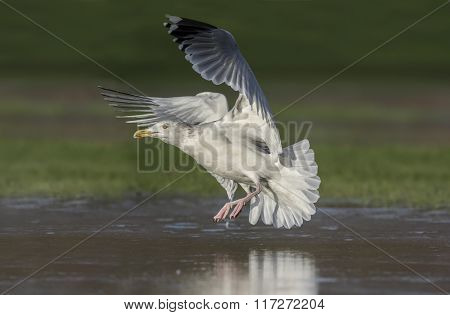 Herring Gull, Larus Argentatus, Flying From A Frozen Pond