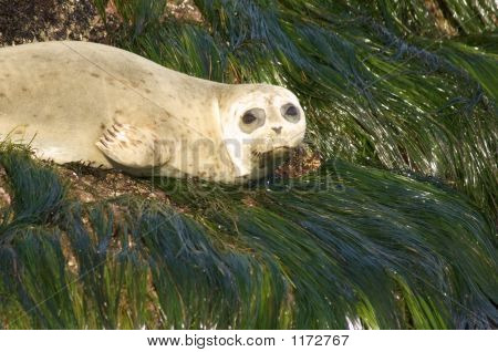 Harbor Seal On Green Algea Pct5577