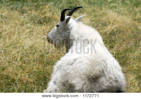 Mountain Goat Pct0789