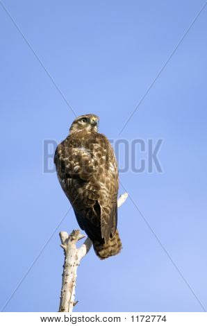 Red-Tailed Hawk Pct6015