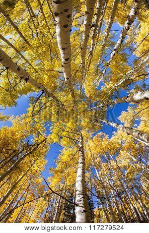 Vertical Aspen Grove In Autumn