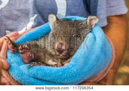 Baby sweet Wombat