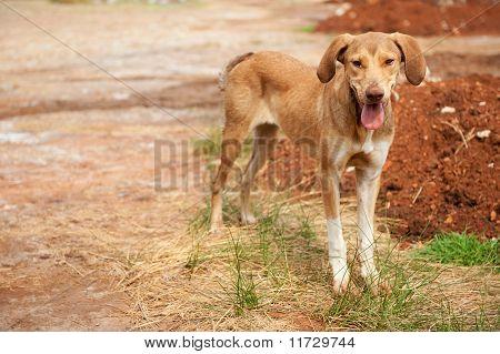 Greek Alley Dog