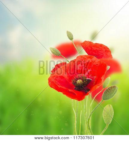 Poppy red  flowers