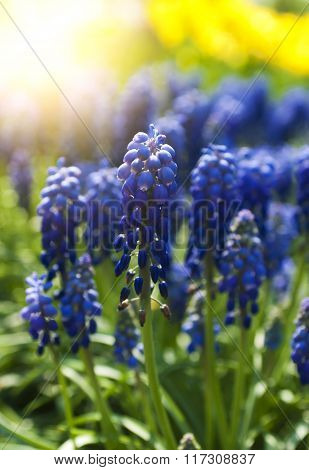 Blue flowers Muscari or murine hyacinth buds and leaves (selective focus)