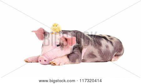 Cute little pig with a chicken on her head