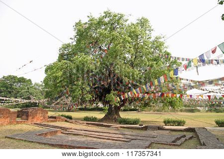 Bodhi tree in Lumbini Nepal