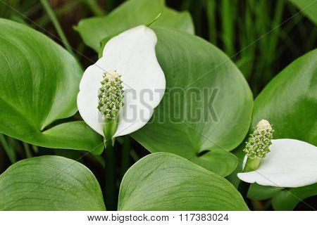 White Flower Spathiphyllum