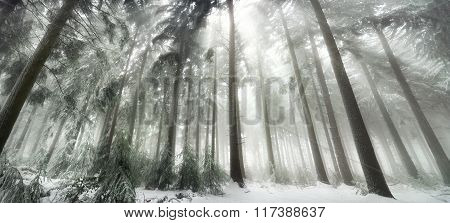 Snow covered forest with magical light in winter white light rays falling through the fog