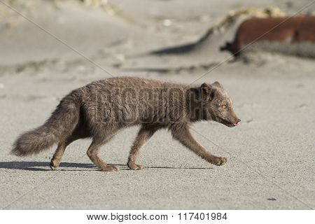 Young Commanders Blue Arctic Fox That Runs Along The Seashore