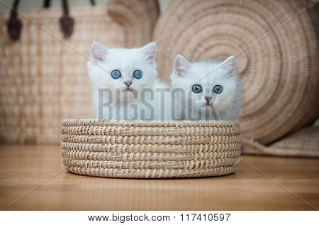 Two Beautiful  Purebred British Kittens In The Basket .