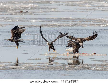 Bald Eagles On Ice