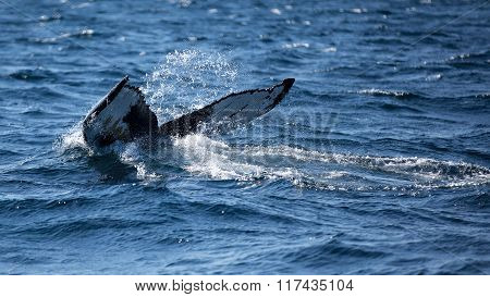 Humpback Whale Fluking Its Tail As It Dives