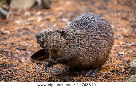 North American Beaver On The Forest Floor After A Swim