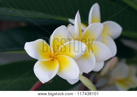 White Frangipani Tropical Flower, Plumeria Flower Blooming On Tree, Spa Flower