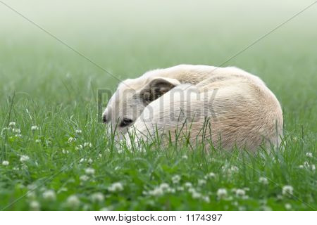 Lonely White Dog In A Fog