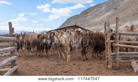 Bactrian camels during spring molting pasture, rural,
