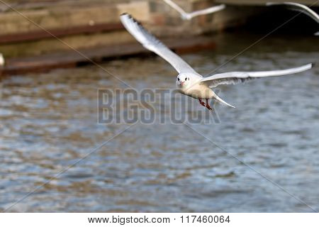 Mew gull in flight