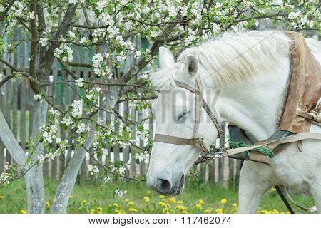 Portrait of dozing white working horse at flowering fruit tree spring background