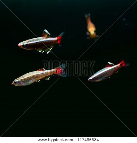 Swimming colorful fishes. White Cloud Mountain minnow fish on black background. macro view, shallow