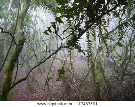 Misty Wet Forest Bosque Fray Jorge In Chile