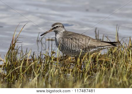 Gray-tailed Tattler Which Stands On The Banks Of The River Spring Day