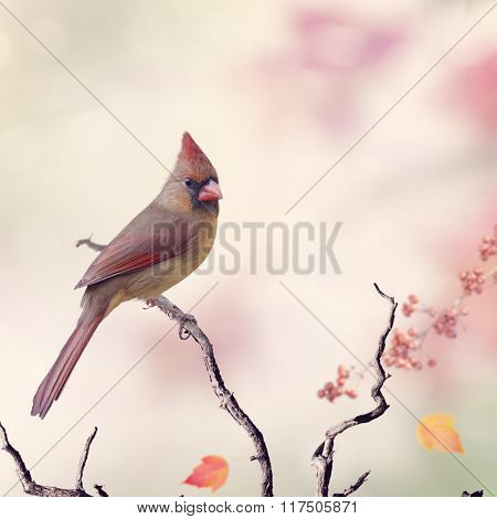 Northern Cardinal Female (Cardinalis cardinalis) Perching