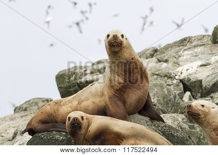 Steller Sea Lion On The Rocks That Lie On A Small Island In The Pacific Ocean