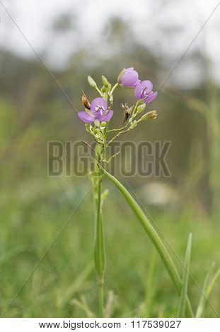 Australian Wild Flower Murdannia Graminea