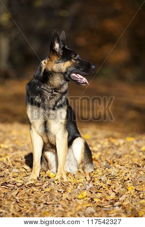 attentive german shepard dog portrait with autumn colored background