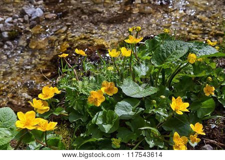 Marsh Marigold flowers (Caltha palustris) is an sign of spring