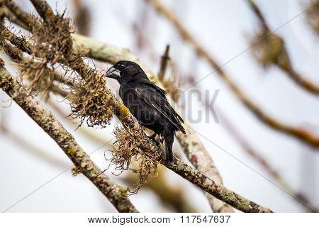 Large Ground-Finch (Geospiza magnirostris), male on Santa Cruz Island, Galapagos
