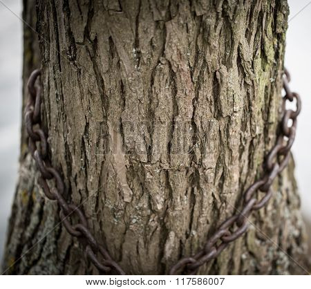 Ingrown Iron Chain In A Tree Bark.