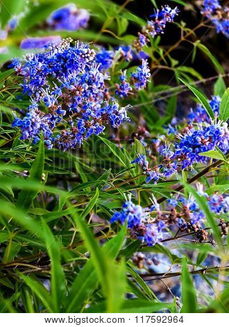 Blue flowering plant Chaste Tree or Monk's pepper (Vitex agnus)