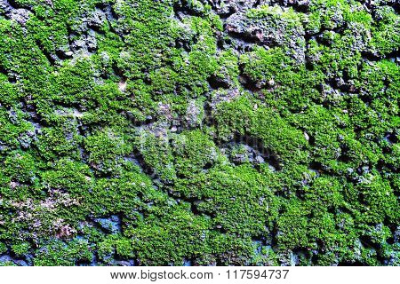 closeup of green moss on the old wall
