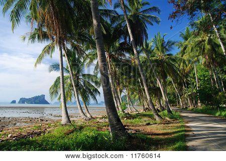 Coconut palm on coast