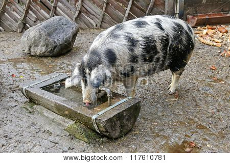 The Turopolje Pig (Turopolje Schwein), European white sow pig with black spots drinking water from a wooden trough