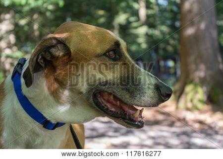 Spanish Greyhound In Park