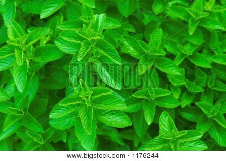 Fresh Mint ~ Spearmint, Peppermint