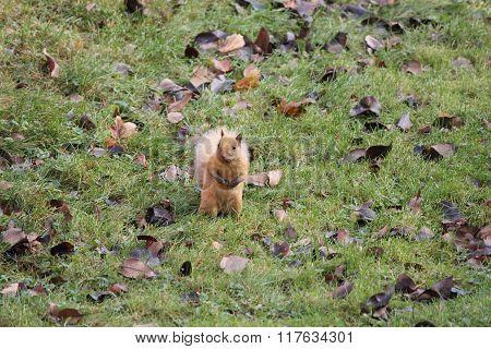Squirrel, Blonde (Eastern Gray)