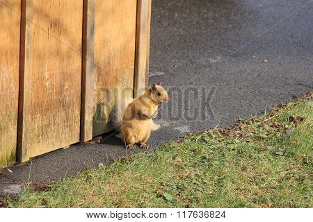 Squirrel, Blond (Eastern Gray) beside shed